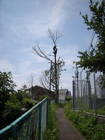 立木 枝落とし